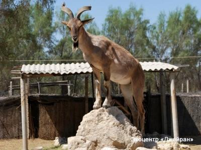 Винторогий козел, Экоцентр Джейран, Узбекистан