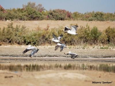 Кудрявый пеликан, Экоцентр Джейран, Узбекистан