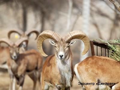 Бухарский баран, Экоцентр Джейран, Узбекистан