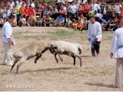 Sheep fighting