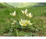 Тюльпаны Узбекистана